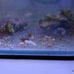 Berghia Schnecke im Aquarium